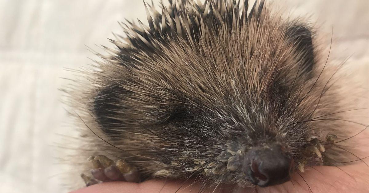 Ripon hedgehog rescue centre forgotten in coronavirus crisis