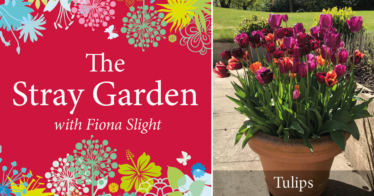 The Stray Garden: Planting tulips for spring colour pops