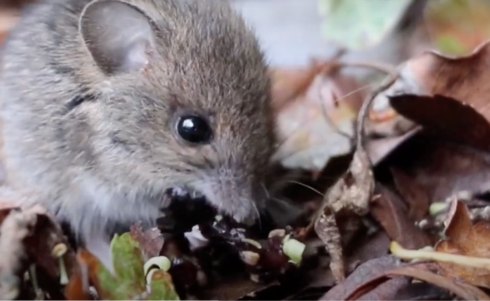 Photo of the wood mouse that appeared in Alicia's film
