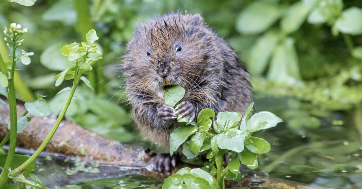 100 water voles released in Washburn Valley this week