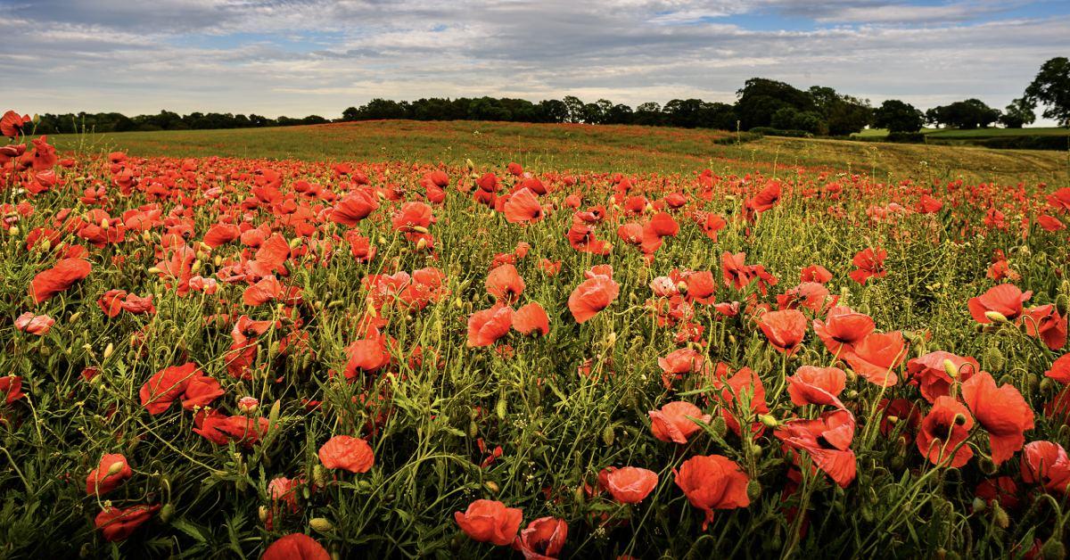 The poppies blow in a field near Knaresborough