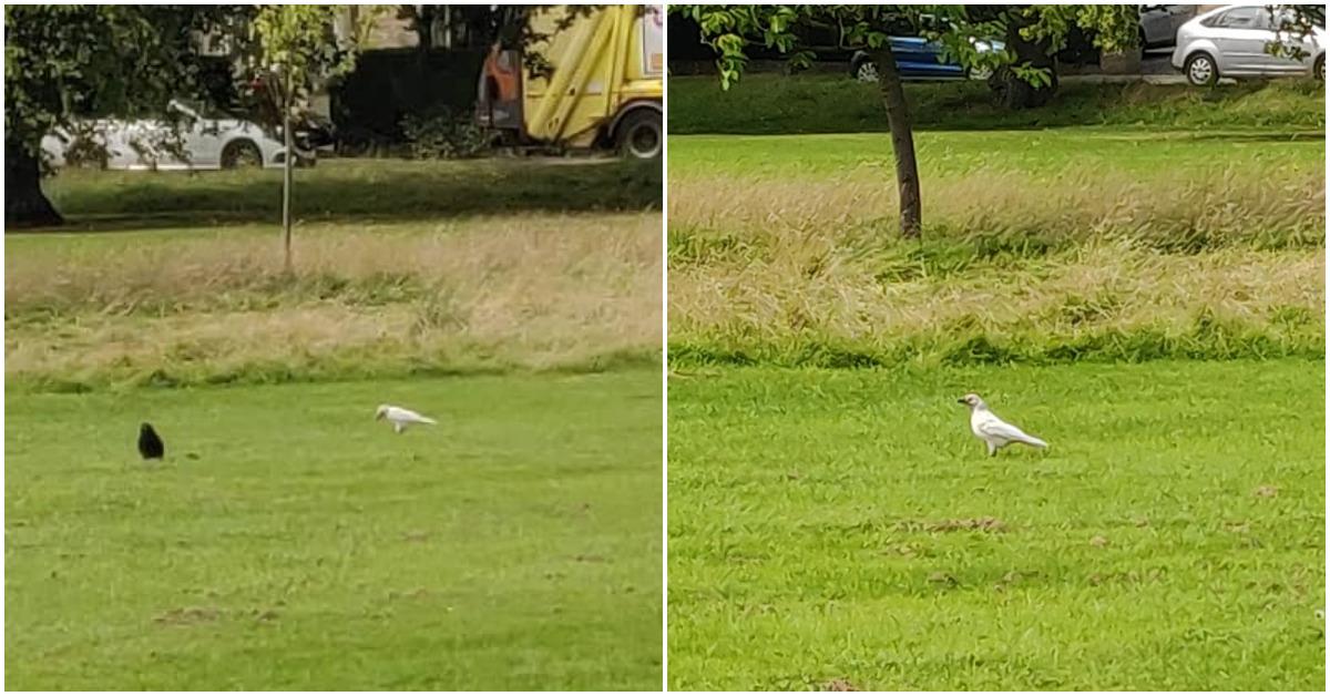 Birdwatcher chuffed to spot 'very rare' white bird in Harrogate