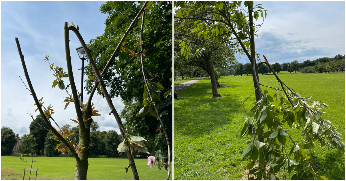 Vandals seriously damage Stray cherry trees again