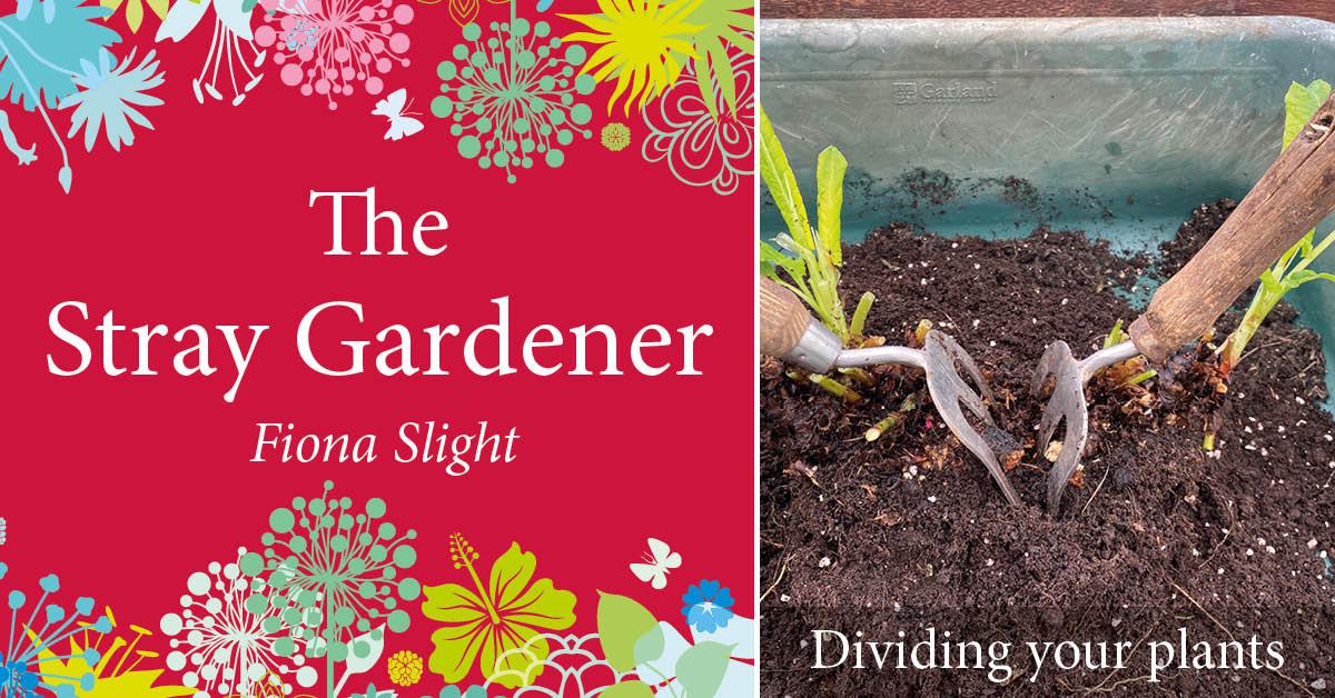 Stray Gardener: Dividing herbaceous perennial plants