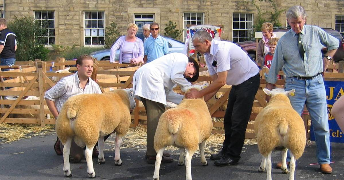 Excitement builds for Masham Sheep Fair this weekend