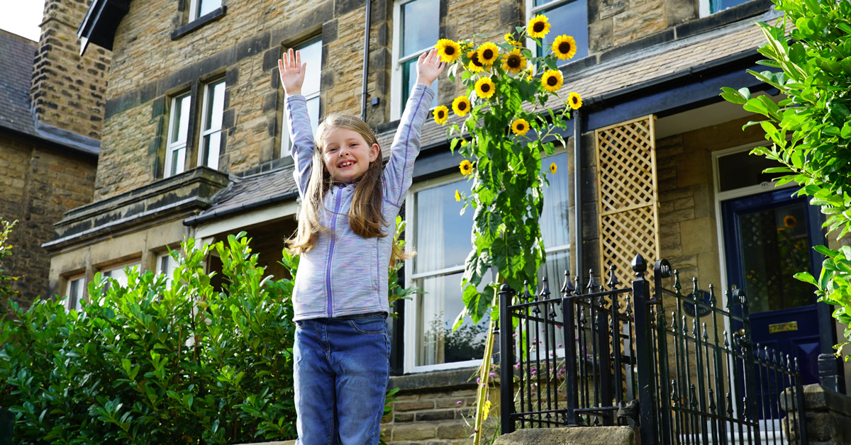 At more than 14 feet, is this Harrogate's tallest sunflower?