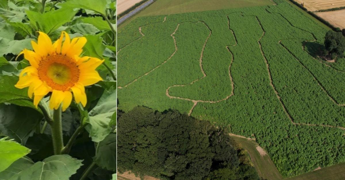 Boroughbridge sunflower field opens in memory of BBC radio presenter Dom Busby
