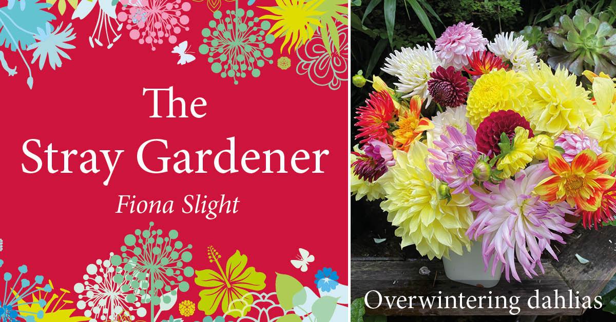 Stray Gardener: Putting dahlias to bed
